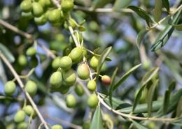 树枝上的橄榄图片_13张