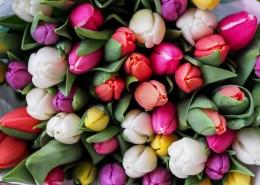 顏色各異的郁金香圖片_12張