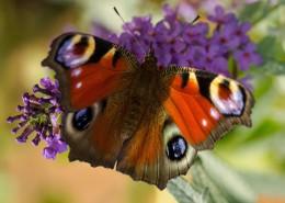 漂亮的孔雀蝴蝶圖片_12張