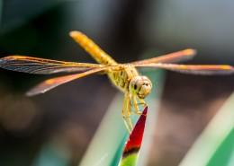 轻盈停落的蜻蜓图片_14张