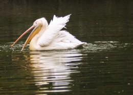 湖中的鹈鹕图片_11张