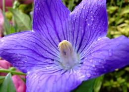 盛開的紫色桔梗花圖片_12張