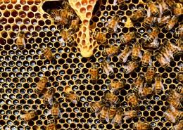 蜂巢上蜜蜂圖片_16張