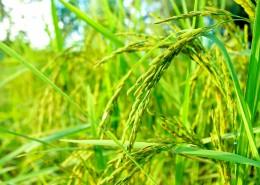 綠油油的水稻圖片_11張
