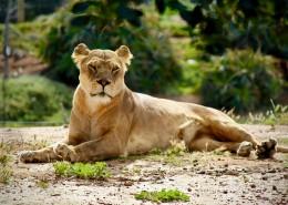 野生的母獅子圖片_16張