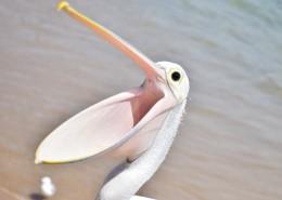 白色羽毛的鹈鹕图片_11张