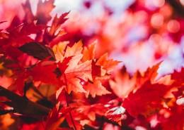 秋季唯美楓葉圖片_16張