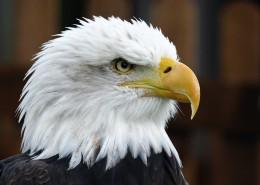 目光锐利的老鹰头部特写图片 _14张