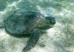 海洋里的海龟图片_13张