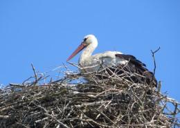 鸟巢上的白鹭图片_14张