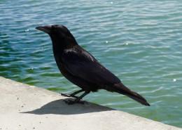 黑色羽毛的烏鴉圖片_16張
