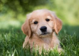 可爱的金毛寻回犬幼犬图片_9张