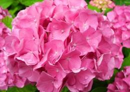 粉紅色的繡球花圖片_12張