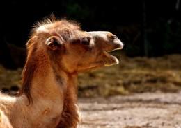 骆驼头部图片_14张