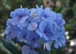 藍色的繡球花圖片_13張