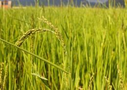 金燦燦的水稻圖片_10張