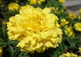 黄色的万寿菊图片_16张