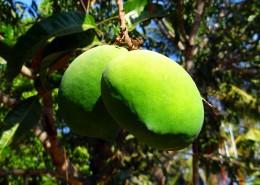 樹枝上未成熟的芒果圖片_12張