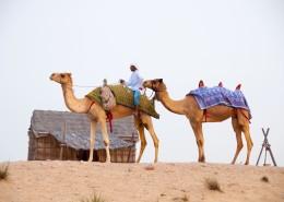 沙漠中的駱駝圖片_14張