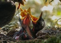 鳥巢中嗷嗷待哺的雛鳥圖片_10張