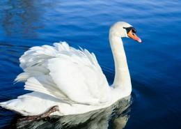 水中的白天鹅图片_16张