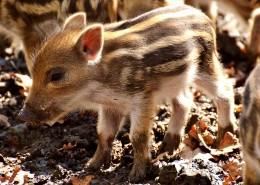 可爱的小野猪图片_12张