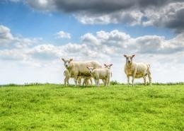 草地上的綿羊圖片_12張