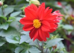 盛開的紅色大麗花圖片_12張