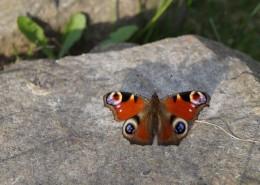 漂亮的孔雀蝴蝶图片_14张
