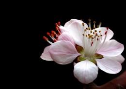 美丽的山桃花图片_12张