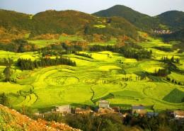 云南羅平油菜花海自然風景圖片_12張