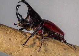 力量惊人的犀牛甲虫图片_7张