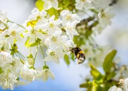 正在采花蜜的蜜蜂圖片_12張