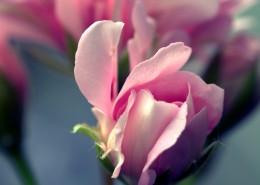 嬌艷的粉色玫瑰花圖片_13張
