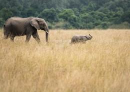 野生的大象圖片_9張