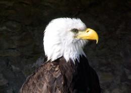 目光銳利的白頭鷹圖片_14張