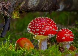 紅色毒蠅傘毒蘑菇圖片_12張