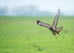 張開翅膀的老鷹圖片_12張