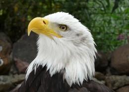 美國國鳥白頭海雕頭部圖片_10張