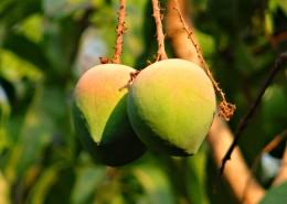 樹枝上未成熟的芒果圖片_13張