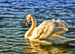 湖面上的白天鵝圖片_10張