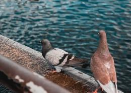 溫順的鴿子圖片_10張