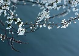 美麗的白色梅花圖片_12張