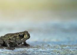 不同種類的青蛙圖片_14張