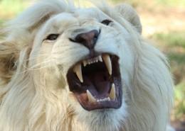 體格雄健的獅子圖片_14張