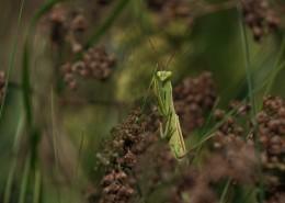渾身綠色的螳螂圖片_10張