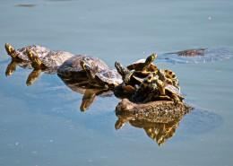 爬行緩慢的烏龜圖片_12張