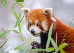 活潑可愛的小熊貓圖片_15張