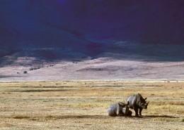 笨拙的犀牛圖片_11張