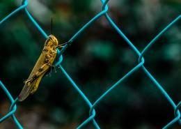 蟋蟀的特寫圖片_9張